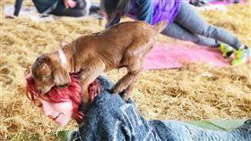 健身,運動,自然,農場,草地,體驗,山羊,瑜伽,羊,goatyoga,潮流,可愛,動物-翻攝自Goat Yoga http://www.goatyoga.net/gallery/nggallery/page/2