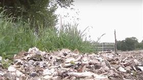 蛤蠣殼鋪路長蛆(圖/翻攝自CBS Boston YouTube)