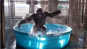 旋轉,黑猩猩,Zola,跳舞,達拉斯,動物園 圖/翻攝自YouTube