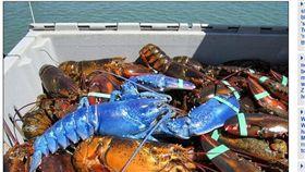 美國漁夫捕獲藍色龍蝦_每日郵報