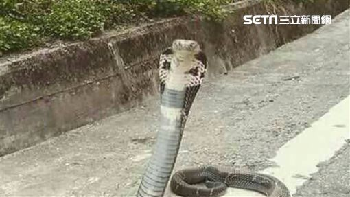動物入夢藏玄機!夢見「蛇」有2種極端可能 -蛇-蛇類-眼鏡蛇-