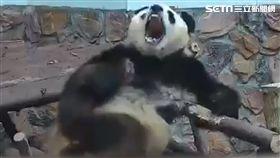 熊貓打哈欠