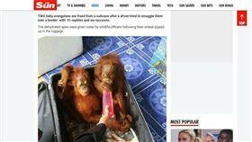 動物,走私,紅毛猩猩,浣熊,烏龜,泰國(圖/翻攝自The Sun) https://www.thesun.co.uk/news/3864312/two-baby-orangutans-freed-suitcase-thailand-malaysia-border/