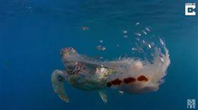 海龜,綠蠵龜,水母,獅鬃水母,福爾摩斯,澳洲,澳大利亞,動物,食物,吃,驚人,捕食,虎克島-翻攝自Caters TV YouTube