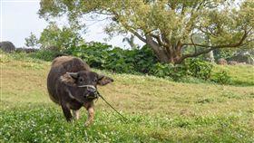 北藝大,台北藝術大學,校牛,水牛,奧米加咆哮獸 (圖/翻攝自臉書)