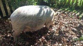 澳洲,母豬,性侵,心理醫師,每日郵報 翻攝自Robyn Francis臉書