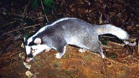 ▲鼬獾是道路上死亡紀錄最多的野生哺乳類動物。(圖/農委會特有生物研究保育中心提供/張仕緯攝)