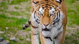 老虎,印度,咬死人