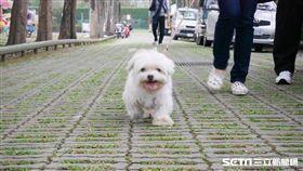 狗,散步,寵物,毛小孩,馬爾濟斯,瑪爾濟斯(圖/記者鄭羽琪攝)