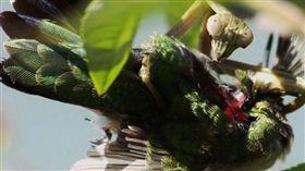 國際,美國,外來種,環境,蜂鳥,螳螂,獵殺,捕食