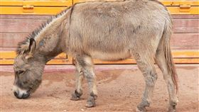 驢子(圖/翻攝自維基百科)