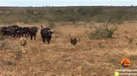 「牛」多勢眾沒在怕!同伴落單被獅子襲擊 一群衝上前救援 圖/翻攝自Kruger Sightings YouTube https://www.youtube.com/watch?v=wki8uqdEXh8