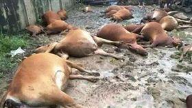 山西省善陽農牧公司40頭肉牛被雷擊電死(圖/翻攝山西晚報)