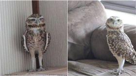 貓頭鷹,冷氣,空調,日本,表情 圖/翻攝自推特