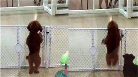 跳舞,狗,毛小孩,貴賓犬,寵物店 圖/翻攝自unilad
