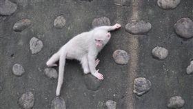 台灣獼猴,獼猴,小白猴(圖/翻攝自二水台灣獼猴生態教育館臉書)
