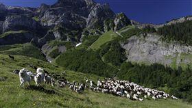 綿羊、羊群、畜牧(圖/路透社/達志影像)