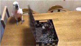 鸚鵡,禮物,盒子,貓,毛小孩 圖/翻攝自推特