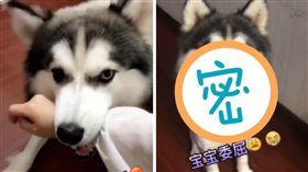 寵物,毛小孩,狗,哈士奇,月月,剃毛,巨頭,鬧脾氣 (圖/翻攝自YouTube)