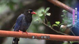 台灣藍鵲,茶鄉革命(圖/翻攝自陳以嘉YouTube)