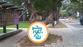 清華大學,清大,校園,榕樹(圖/翻攝自靠北清大)