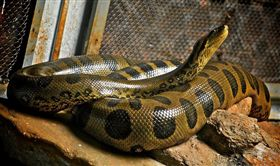 美國,蟒蛇,報警,纏住,蛇頭,鼻子(圖/攝影者Anderson Mancini, Flickr CC License) https://goo.gl/bJ8kTL
