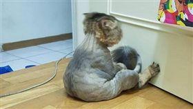 剃完毛難過面壁好無言 喵星人低頭看尾巴:只剩這一點!(圖/翻攝自《貓咪也瘋狂俱樂部》臉書)喵星人,網友,臉書,貓咪,哀怨,剃毛,毛,森77,喵生,喵咪,貓,罐罐