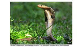 印度眼鏡蛇  圖翻攝《Daily Mail》