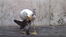 海鷗,吞食,鴿子,攻擊(圖/翻攝自YouTube)