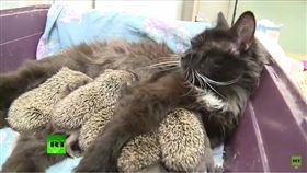 貓,喵星人,喵媽咪,刺刺,刺蝟,哺乳,母乳,母愛 圖/翻攝自RT UK YouTube