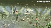 疑天氣太熱、河川水溫過高 基隆河魚群大量死亡