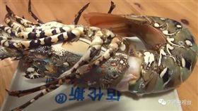 福建,中國大陸,龍蝦,神蝦,中華錦繡龍蝦/翻攝自寧德電視台微信