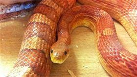 英國,玉米蛇,浴室,房客,Corn Snake,寵物,棄養(圖/攝影者Marcus Ward, Flickr CC License)https://goo.gl/YXpMQr