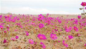 沙漠開花、desierto florido/維基百科
