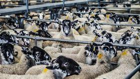 牧場,綿羊 圖/Pixabay