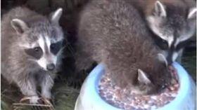 浣熊,牛奶,吃東西,吃相,呼吸,閉氣 圖/翻攝自臉書