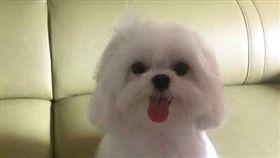 戴先生愛犬瑪爾濟斯送寵物店美容卻被搞丟。(圖/翻攝臉書桃園人)