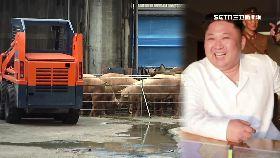 正恩愛種豬1800