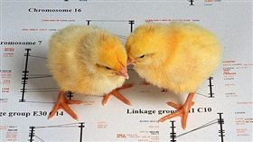 小雞,雛雞(圖/翻攝自維基百科)