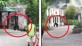 木柵動物園黑猩猩莎莉逃獄(圖/翻攝自臉書)