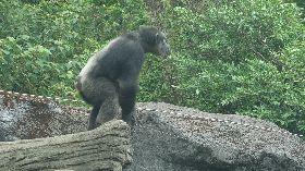 動物園黑猩猩攀枝條逃出展場嚇壞遊客(
