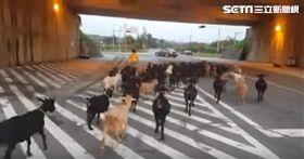 台灣也有牧羊人!苗栗夫婦牧羊 罕見景象引網友熱議(圖/翻攝自YouTube)