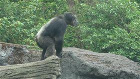 動物園黑猩猩攀枝條逃出展場嚇壞遊客(3)台北市立動物園黑猩猩「莎莉」(圖)10日下午攀附一棵枝條垂降較低的植物逃脫展場,嚇壞遊客,幸好無人受傷。不過,展場內9隻黑猩猩短期內都不會出來見客。(台北市立動物園提供)中央社記者梁珮綺傳真 106年9月10日