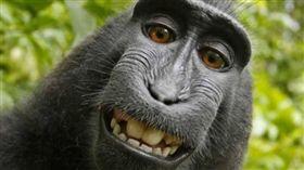 黑冠獼猴納魯托(Naruto)自拍_https://www.peta.org/blog/settlement-reached-monkey-selfie-case-broke-new-ground-animal-rights/