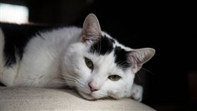 貓咪、貓、喵星人/flickr/Adrian Scottow/https://flic.kr/p/mGEMFC