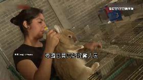 委國吃兔子1800