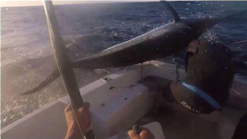 釣魚,馬林魚,澳洲,昆士蘭,尖嘴,旗魚 圖/翻攝自teamjustagirl網站