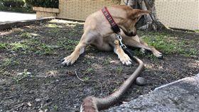 民眾報案說有狗被蛇咬,結果只是一條蛇狗鍊掛在狗身上。(圖/翻攝畫面)