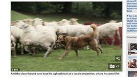 牧羊犬,Kit,Mark Smithers,山羊,綿羊,管理,趕羊,比賽,失明,盲 圖/翻攝自每日郵報 https://goo.gl/Wya1oa