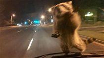 碰!浣熊從天而降「壁咚」警車 網笑:牠要來劫車的 圖/翻攝自Colorado Springs Police Department臉書